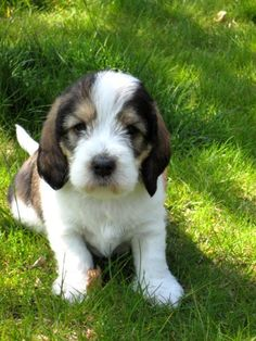 56 best images about Petit basset griffin vendeen on ...