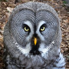 Bartkauz - Great Grey Owl (Strix nebulosa) - Weltvogelpark Walsrode 2012-004-cropped - Great grey owl - Wikipedia, the free encyclopedia