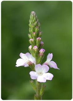 Flores de Bach - Vervain - Verbena