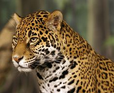 The jaguar is a wild animal typical of Brazil, mainly in the Amazon jungle.