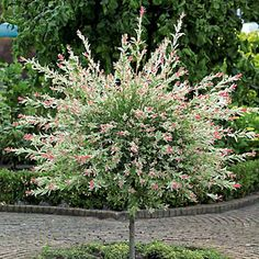 If you 39 re looking for a pink then bright white shrub that 39 s super easy to gow try this - Saule crevette sur tige ...