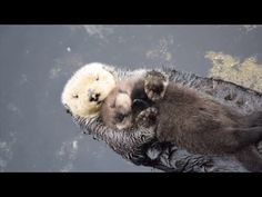 Newborn Sea Otter Pup Snuggles Up With Mom While Floating - YouTube