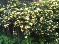 Möglichkeiten, Um Landschaft, Lady Banksia Rosen