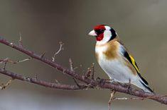 European Goldfinch  Photograph by Torbjorn Swenelius