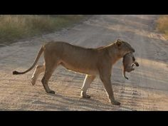 ▶ Lioness and her Cute Cub in road - Kruger National Park   OMG the baby squeaks a little kitten squeak near the end!