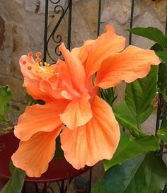 hibiscus 'cuban variety' (5)