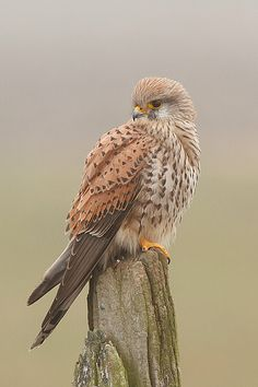 Torenvalk or Common Kestrel - The Common Kestrel is a bird of prey species belonging to the kestrel group of the falcon family Falconidae. It is also known as the European Kestrel, Eurasian Kestrel, or Old World Kestrel