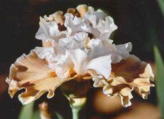 COFFEE WHISPERS Iris Flowers