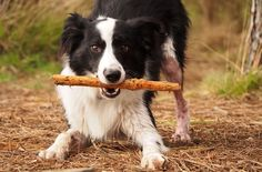 Let's play @yummypets #border #collie                                                                                                                                                                                 Plus