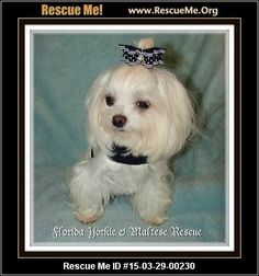 Petal (female)  Maltese  Age: Young Adult  Compatibility:Good with Most Dogs, Good with Adults (Not Kids) Personality:Average Energy, Average Temperament Health:Spayed, Vaccinations Current  Petal will only be adopted with her brother Timmy as they are a bonded pair. Introducing PETAL. She is 3 years old and weighs a tiny 4.5 lbs. She is very shy and reserved but will come out of her shell eventually to give kisses. She is very attached to her brothers so we want to make sure…