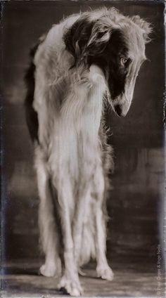 Borzoi (Russian Hound) Photographer: Paul Croes