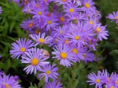 September Birth Flower Aster Small Garden Uk, Plants For Small Gardens, Herbaceous Perennials, Flowers Perennials, Perennial Sunflower, Stone Flower Beds, Flower Bed Borders, Edging Plants, Drought Resistant Plants