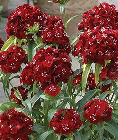 32 Pretty Fragrant Perennials Sweet Black Cherry Hybrid Dianthus #Perennials #Fragrant #FragrantPerennials #ScentedPerennials #Gardening #FragrantGarden #Landscape #Organic #Garden #Burpee #Dianthus