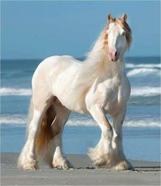 Creamy dreamy white horse at the beach. Passion for beautiful Horses. – Ph… Creamy dreamy white horse at the beach. Passion for beautiful Horses. Big Horses, Cute Horses, Pretty Horses, Horse Love, Beautiful Creatures, Animals Beautiful, Cute Animals, Beautiful Cats, Majestic Horse