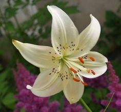 Lilies, lilies, lilies