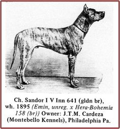"CH Sandor I v Inn 641, golden brindle, born 1894 or 1895. Sandor first appeared at a US show in 1898 (when he was 4 years old) and cleaned up over an entry of 79 Danes. He was the founder of many American lines. He was described: ""as a combination of size, symmetry, character and quality we have never had his equal in this country and it is possible he could not have been beaten by any dog living when in his prime."""