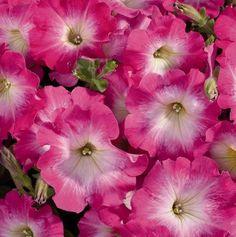 Petunia Celebrity Pink Morn x20 Pelleted seeds, Not for WA or TAS in Home & Garden, Gardening, Plants, Seeds, Bulbs | eBay
