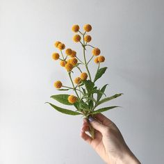 Pilfered from the garden. ✜ About this time every year I post a picture of this plant from the garden, when it's in full bloom and I never… Pretty Flowers, Wild Flowers, Flower Aesthetic, Aesthetic Design, Beige Aesthetic, Plants Are Friends, Floral Bouquets, My Flower, Botany