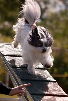 Dog Agility The Shih Tzu is not a breed typically seen in agility competitions, but your dog might want to give it a try. A Beginner's Guide to Agility Training Agility Training For Dogs, Dog Agility, Dog Training Tips, Outdoor Training, Aggressive Dog, Happy Dogs, Dog Care, Dog Grooming, Dogs And Puppies