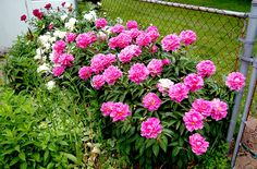 Peony Mania is going on at my house right now. They popped open sometime while I was gone camping this past weekend. Bonsai, Peonies, Beautiful Flowers, Wisteria, Home And Garden, Floral, Cottages, Garage, Gardening
