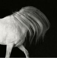 white horse with long mane - photo byTim Flach