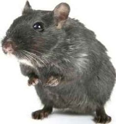 Rats and Mice are things you don't want to have in your home, unless they are in a cage and even then I'm not sure about it. Rats are nasty and...