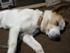 茨城県坂東市 Yさまのワンちゃんのミックス犬 フクくんです お昼寝中です
