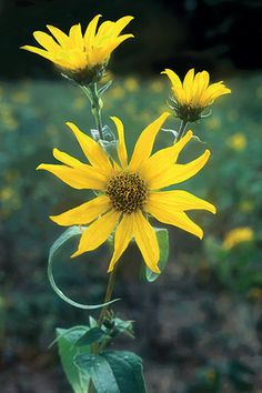 Woodland Sunflower (Helianthus strumosus) - found growing wild in the edges of the woods. Spreads by rhizome, can be aggressive. Hosts Silvery Checkerspot; possibly American Lady
