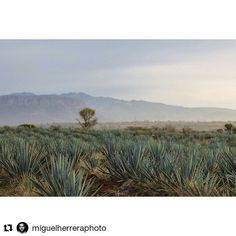 #Repost @miguelherreraphoto with @repostapp  ・・・  #Tequila #Sunrise #Travel #Mexico #VisitMexico #Moderntogether #cb2    #tequila #tequilacocktail #tequilablanco #tequilatime #tequilatequila #tequilacocktails #TequilaDrink #tequilatasting #tequilalover #2tequilasporfavor #betequila #butwithtequila #catatequila #celebratewithtequila #doingtheworkofTequila    #Regram via @tequilaembajador