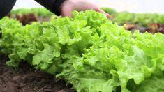 Držte sa ich a nebudete ľutovať! Neoceniteľné triky našich babičiek pre najkrajšie kvety a bohatú úrodu! Lettuce, Flora, Gardening, Vegetables, Google, Lawn And Garden, Plants, Vegetable Recipes, Salads