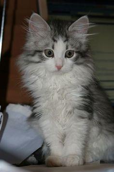 Beautiful Silver Siberian girl - Freya