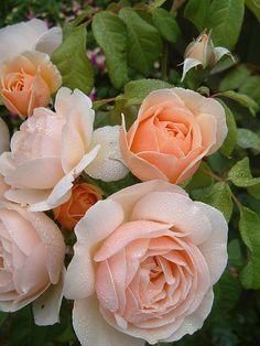 English Shrub Rose: Rosa 'Juliet' (U.K., 2005)