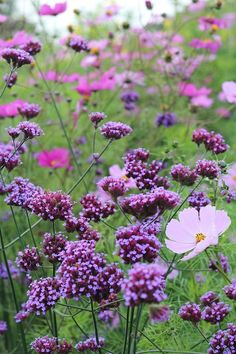 Verbena and Cosmos. Verbena bonariensis, flowering season August-October. Likes the sun.