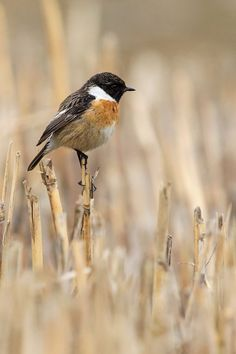 European Stonechat by Urs Zimmermann Little Birds, Love Birds, Birds 2, Beautiful Birds, Pet Birds, Beautiful Butterflies, Stonechat, Fields Of Gold, Bird Watching