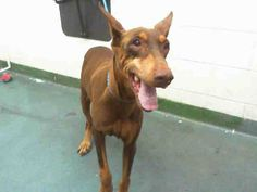 LUCY (A1647075) I am a female red and tan Doberman Pinscher.  The shelter staff think I am about 5 years old and I weigh 52 pounds.  I was found as a stray and I may be available for adoption on 09/29/2014. — Miami Dade County Animal Services. https://www.facebook.com/urgentdogsofmiami/photos/pb.191859757515102.-2207520000.1411908796./845211165513288/?type=3&theater