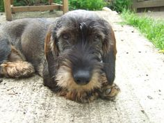 Hi there, here are some pics of my Standard wire haired Dachshund. His name is Murdoch and he is 7 months old. Wire Haired Dachshund, Dachshund Dog, Dachshunds, Scottish Terrier, Dog Forum, Animals And Pets, Cute Animals, Standard Dachshund, 7 Months