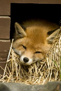 A red fox resting on
