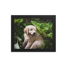 Framed poster of my golden retriever puppy hiding under leaves - Canada - Toronto photographer - Framed Photo Print - Home Decor - Wall Art Toronto Photographers, Living Room Photos, Retriever Puppy, Home Decor Wall Art, Framed Art Prints, Animal Pictures, Beautiful Pictures, Leaves, Puppies