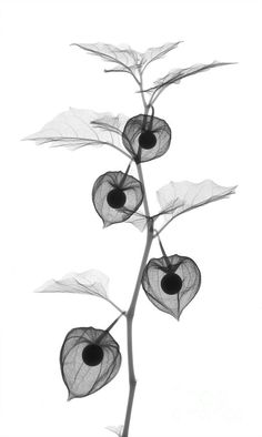X-ray of Chinese Lantern plant - Photograph | Ted Kinsman More Pins Like This At FOSTERGINGER @ Pinterest