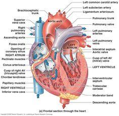 Heart Diagram: Right/left Atria, Right/left Ventricles, Pulmonary Trunk, Aorta, Superior/inferior Vena Cavae, Pulmonary Veins, Coronary Sinus, Right/left Atrioventricular valves (tricuspid + bicuspid), Chordae Tendinae, Interatrial Septum, Interventricular Septum, Aortic and Pulmonary Semilunar Valves, Coronary Arteries and Cardiac Veins