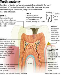 anatomy location terms of teeth | Introduction to Dental Anatomy ...