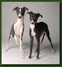 Resounding Italian Greyhounds