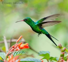 Cozumel Emerald, Chlorostilbon forficatus: endemic to the island of Cozumel off the coast of the Yucatán Peninsula