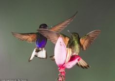 All in a flap: Vibrantly coloured hummingbirds battle it out over a banana flower