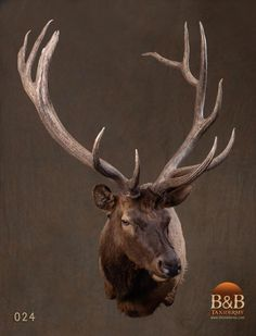 Taxidermy by B&B Taxidermy provides fine taxidermy for Trophy Game Rooms, African, North American and Exotic Mounts located in North Houston Texas The Woodlands Texas, Conroe Texas, Spring Texas, Fallow Deer, Wild And Free, Taxidermy, Elk, Moose, Photo Galleries