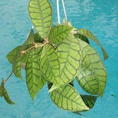 Hoya sp. Kalimantan, (SRQ Hoyas)