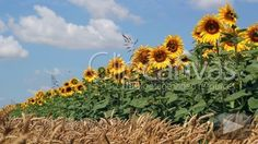Check out this Sunflower Wheat Agriculture HD Stock Footage Clip. Static shot made at day. Long shot. 2011-11-19.