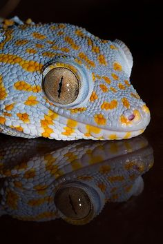 Tokay Gecko...I used to have one of these. Mike won't let me get another :(