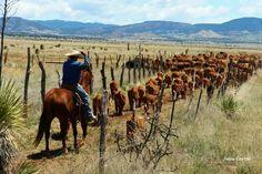 Herding cattle in NM