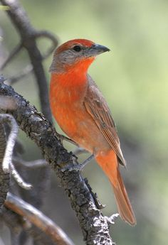 HEPATIC TANAGER (Piranga flava) - has been little studied, it breeds from the southwestern United States southward all the way to Argentina and is found in open pine and pine-oak forests. It eats insects and some fruits. Moves slowly and deliberately through foliage, working out from base of lower limbs. Flies out and catches flushed insects.